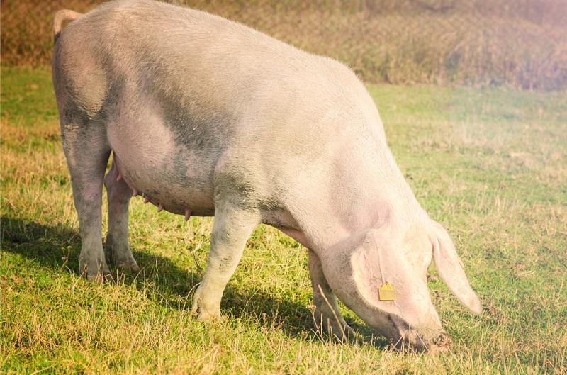 Африканська чума свиней: Діагностика