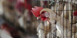 Вірус пташиного грипу: діагностика, інкубаційний період, вакцинація