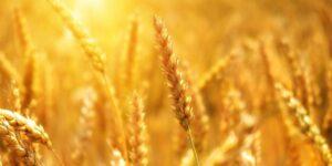 показники якості зерна пшениці